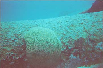 Picture 26. Coral on Sunken Navy Target Vessel