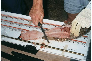 Picture 16. Filleting Fish