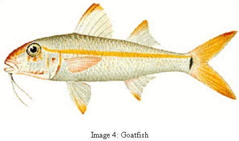image 4 photo of fish common name goat fish