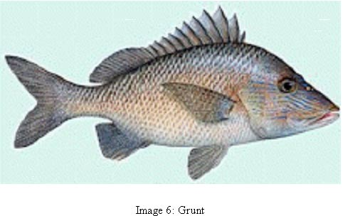 image 6 photo of fish common name grunt