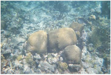 Picture 23. Hard Coral