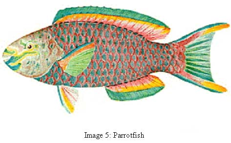 image 5 photo of fish common name parrot fish