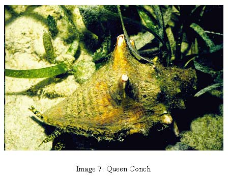 image 7 photo of queen conch