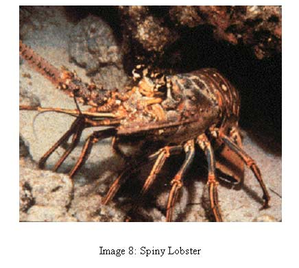image 8 photo of spiny lobster