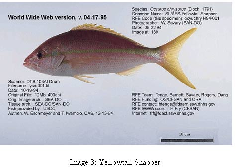image 3 photo of fish common name yellow tail snapper