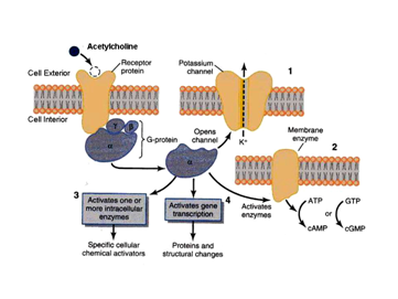 Nicotinic Receptor