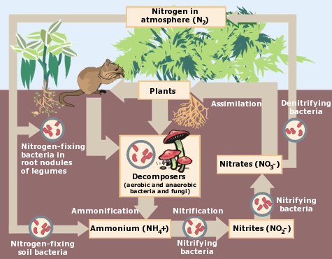 Figure 2. The Nitrogen Cycle