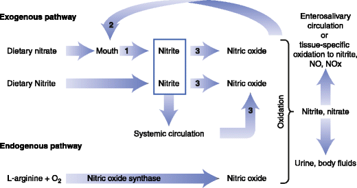 Figure 3. A schematic diagram of the physiologic disposition of nitrate, nitrite, and nitric oxide (NO) from exogenous (dietary) and endogenous sources. The action of bacterial nitrate reductases on the tongue and mammalian enzymes that have nitrate reductase activity in tissues are noted by the number 1. Bacterial nitrate reductases are noted by the number 2. Mammalian enzymes with nitrite reductase activity are noted by the number 3 [Adapted from Hord et al. 2009].