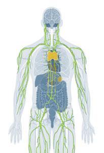 Immunological System