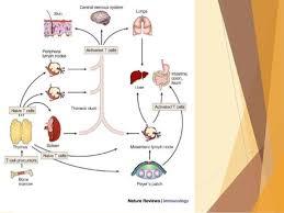 Lymphoreticular